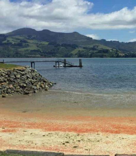Luguber tafereel: strand Nieuw-Zeeland bezaaid met miljoenen dode kreeften