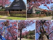 Bewoners Bergkwartier woedend over kap tientallen Japanse sierkersen: 'Onbegrijpelijk'