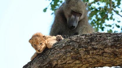 Net uit 'De Leeuwenkoning': baviaan gespot met leeuwenwelpje in Zuid-Afrikaans nationaal park