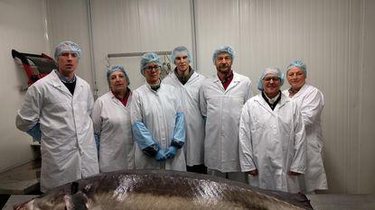 Turnhoutse kaviaarproducent veilt steur van 200 kilo