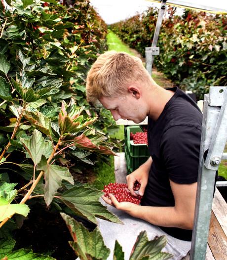 'Je moet als fruitplukker een echte doorzetter zijn'