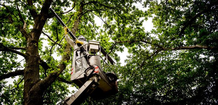 Een boomverzorger bestrijdt de eikenprocessierups in een Amsterdams park. De haartjes van de rups kunnen bij mensen leiden tot een branderig gevoel en huidirritatie, ontstekingen en zelfs tot blindheid.