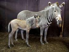 Zebraveulen geboren in Artis