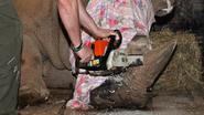 Tsjechische zoo zaagt hoorn van neushoorns met kettingzaag af