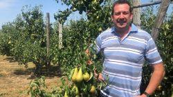 """Ook Hagelandse fruitbomen zien af door de hitte: """"Soms gaat de helft van de vruchten verloren"""""""