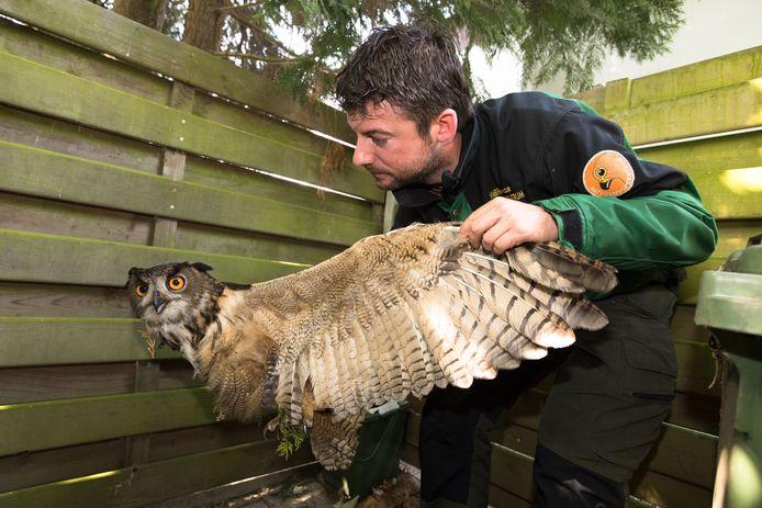 De spanwijdte van een oehoe kan tot 190 centimeter gaan.