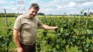 Na voorstelling rosé wijn volgt de kater: storm beschadigt wijngaarden Oud Conynsbergh