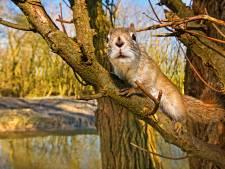 Rechter: Ontsnapte rode eekhoorn 'Boefke' hoeft niet terug de cel in