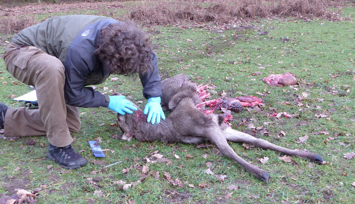 Ecoloog Hugh Jansman neemt monsters van het dode edelhertkalf.