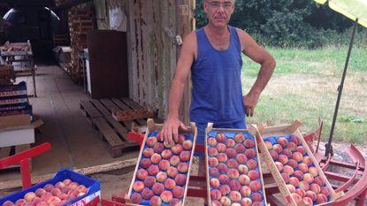 """Nieuwe Gelroodse perziken nu al rijp"""
