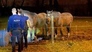 Vier loslopende paarden tussen Burst en Ressegem