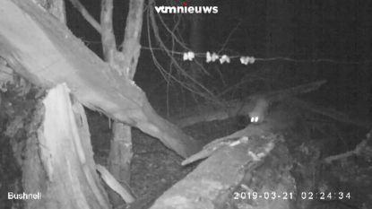 Wie zien we daar voorbij sluipen? Zeldzame boommarter gespot in het Zoniënwoud