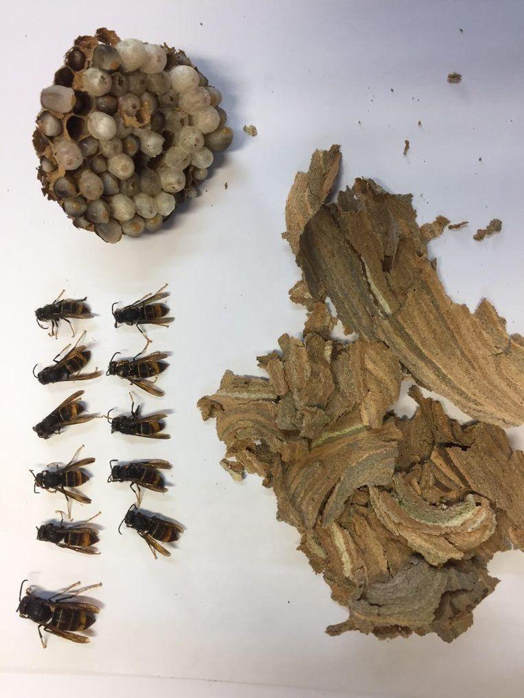 Het eerste - en verdelgde - nest van de Aziatische hoornaar dat werd aangetroffen in onze regio.