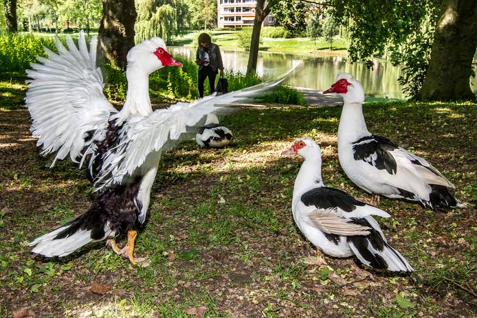 Een watervogel toont zijn spanwijdte in een park aan de Vlotenlaan in Deventer. Foto Ronald Hissink
