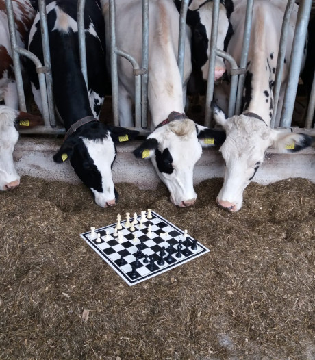 Schaakclub steunt boerenprotest door te spelen naast de melkrobot in Wamel