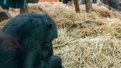 Daar is de gorilla-mania al: tientallen fans komen meteen op kraambezoek (en souvenirshop richt speciaal hoekje in)