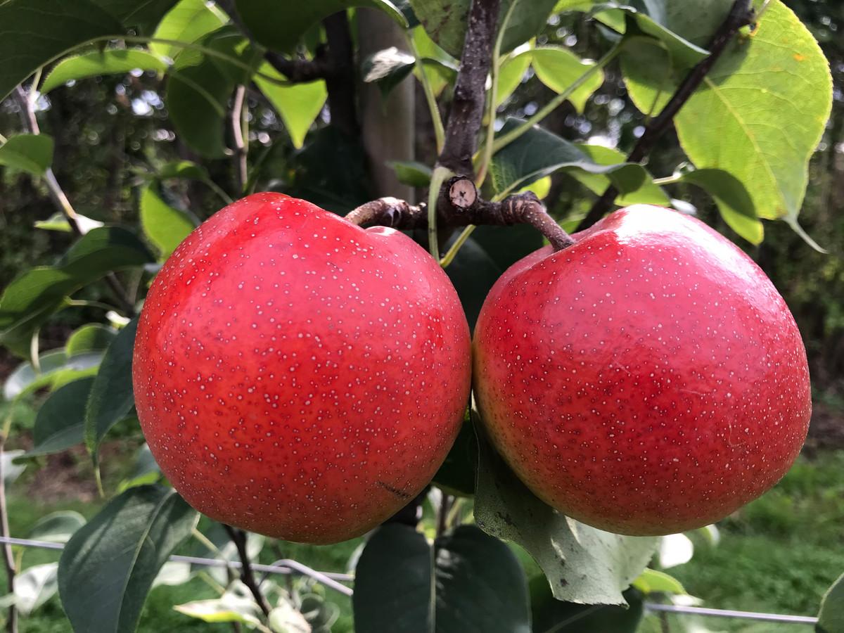 Het lijkt een appel, maar het is een peer.