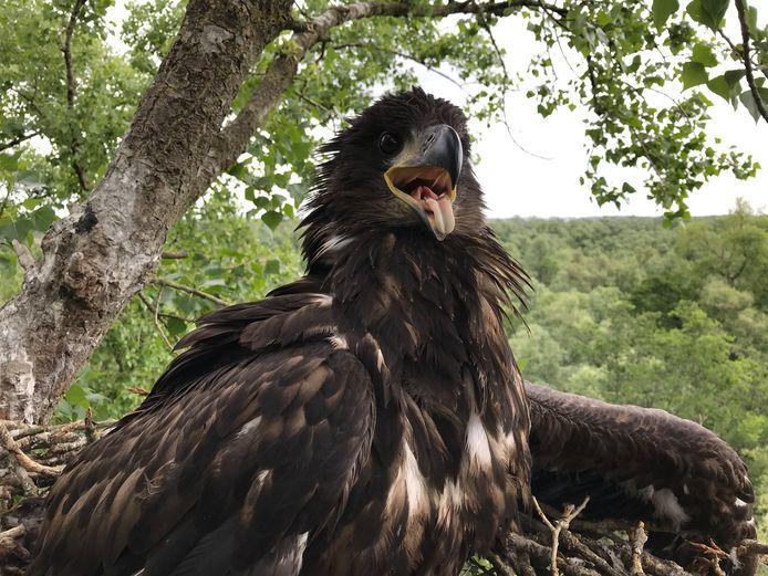 Het zeearendjong uit de Brabantse Biesbosch op zijn nest.