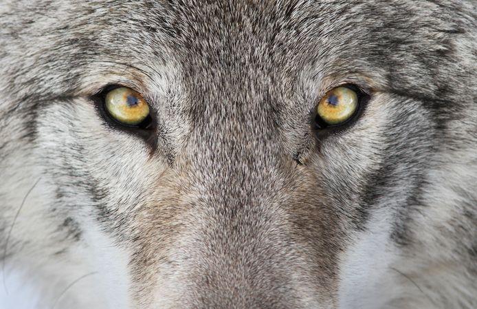 De wolf in Brabant: wat moet ik wel en niet doen?