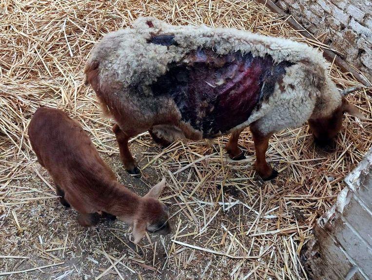 De eigenaar waste het gewonde dier met azijn, waardoor het chemisch verbrand raakte.