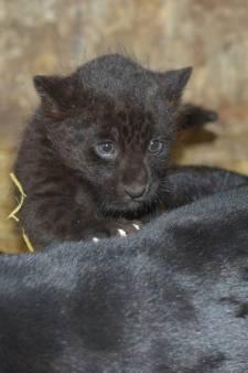 BestZoo laat pasgeboren zwart jaguarwelpje kennis maken met publiek