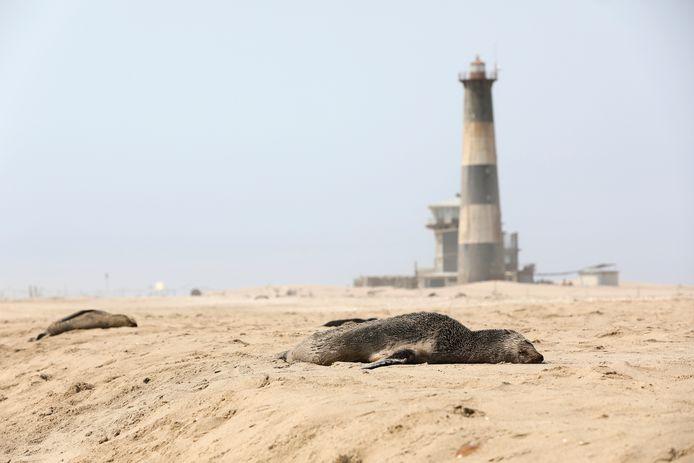 Dode robben op het strand nabij Pelican Point, Namibië.