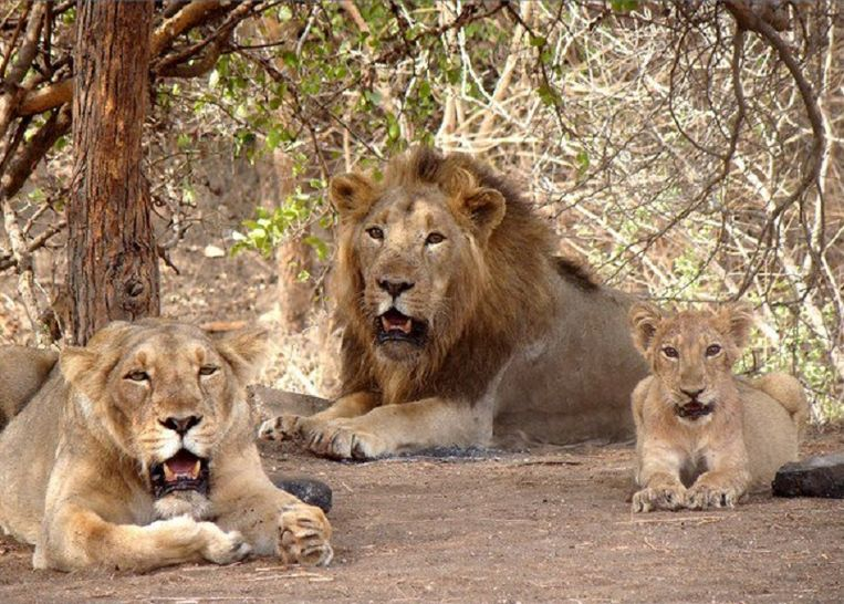 Aziatische leeuwen in het Gir-park.