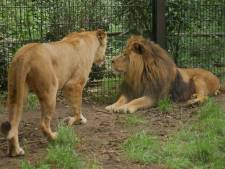 Nieuwe leeuw Ramzes doet het goed bij de vrouwtjes: 'Ze vinden het een knappe man'