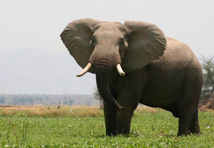 Elephant au Zimbabwe.