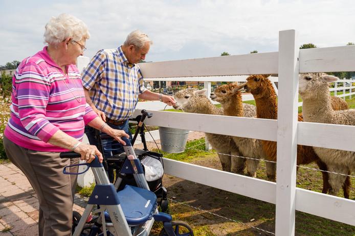 Boer en An van Gompel (echtpaar) voeren de alpaca's op zorgboerderij De Wederloop in Diessen.