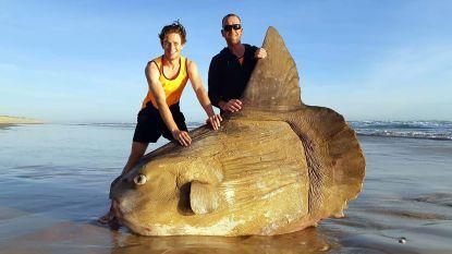 Zeldzame maanvis van bijna 2 meter groot aangespoeld op strand in Australië