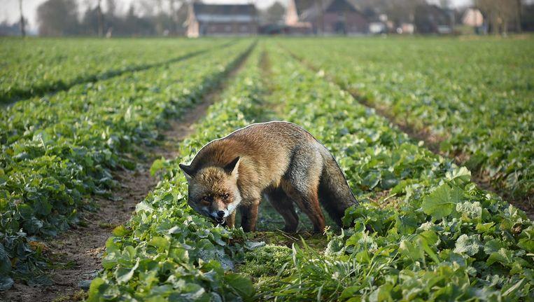 Boeren zetten afbeeldingen van vossen in hun land om ganzen te verjagen. Beeld Marcel van den Bergh / de Volkskrant