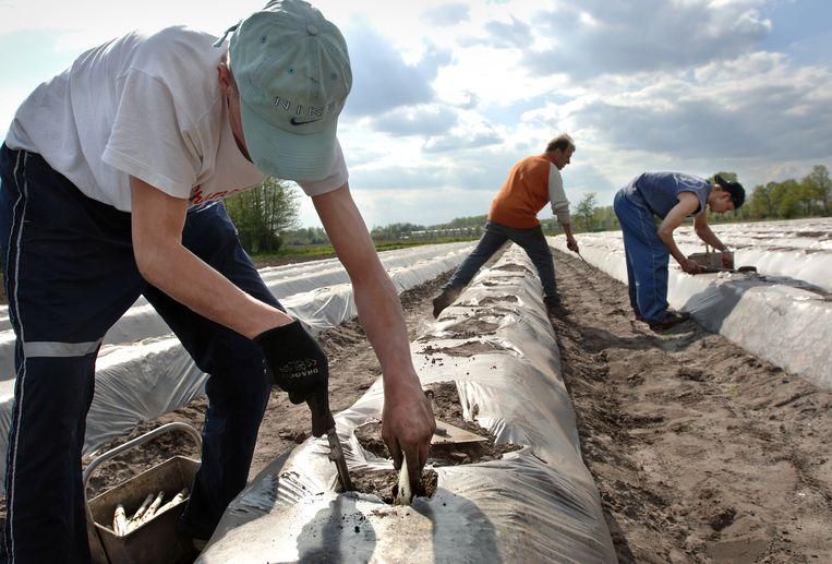 Poolse aspergestekers in Gemert, Limburg.  Beeld Marcel van den Bergh