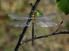 Zeldzame hoogveenglanslibel ontdekt in Eersel