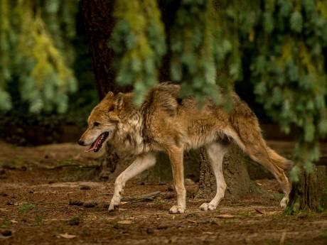 De wolf is terug in Utrecht, maar of het een blijvertje is?