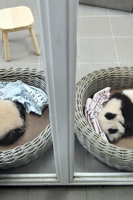 Speciale slaapzaal voor verzorgers en extra bewakers: dát staat Ouwehands te wachten als er écht een pandababy komt