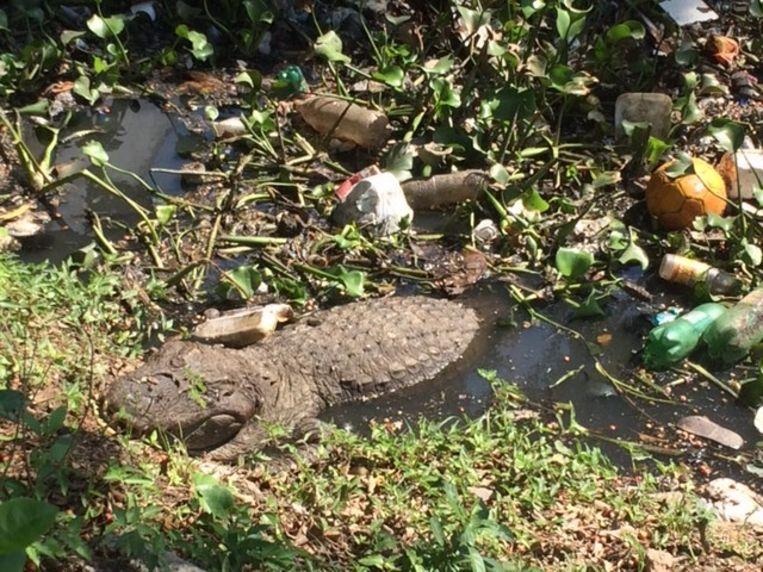 Een kaaiman in het open riool. Beeld Wies Ubags