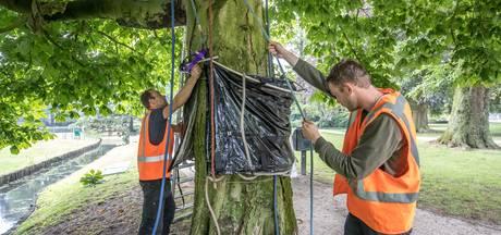 Zwolle gaat monumentale bomen genezen van kastanjebloedingsziekte