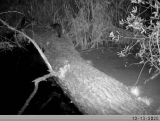 Na jaren van afwezigheid opnieuw otter gespot in natuurgebied Donkmeer
