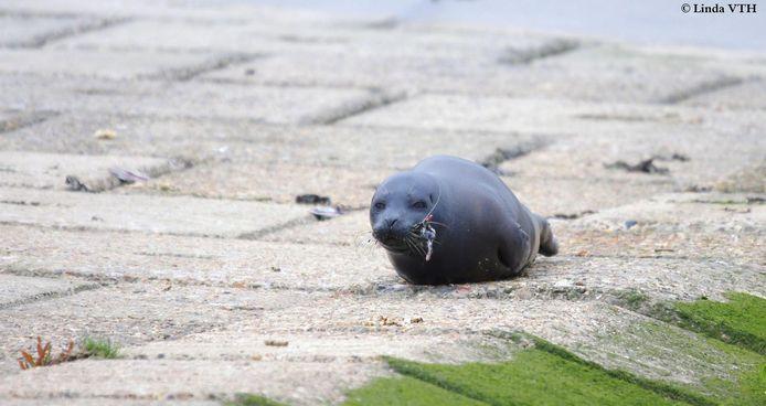 De jonge zeehond heeft een vishaak door zijn kaak.