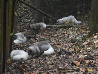"""Vijf verwaarloosde poolvossen van te kleine kooi naar ruim terrein: """"Hier kunnen ze weer vos zijn"""""""