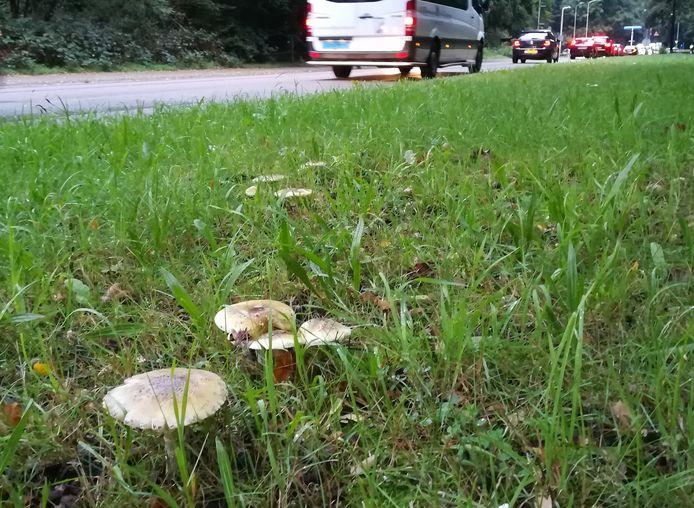 Groene knolamanieten langs een drukke weg in Ede.