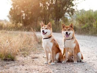 Triest om je overleden hond? In Zuid-Korea kun je jouw viervoeter laten klonen