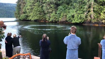 Toeristen door het dolle heen wanneer bultruggen onder hun neus komen vissen met 'luchtbelnetten'