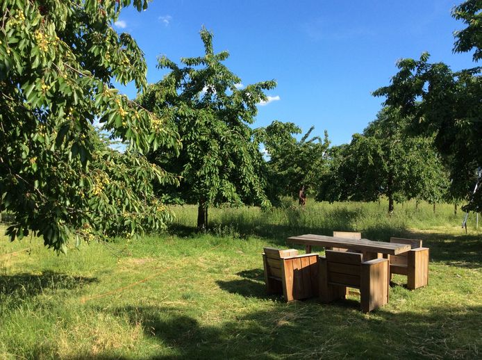 Boomgaard met oude kersenrassen.