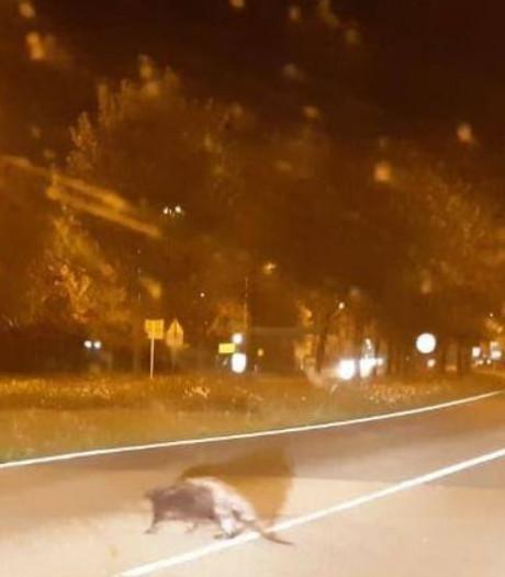 Politie blokkeert weg in Lelystad: bever kan veilig oversteken