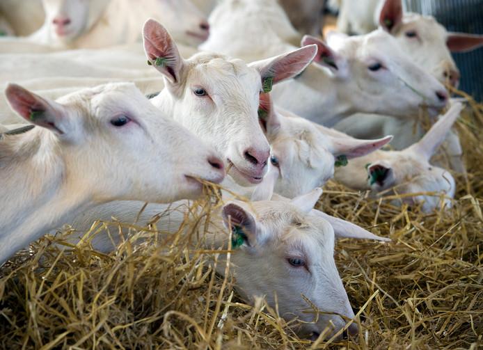 Geiten op een boerderij in Gelderland.