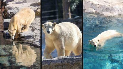 Nieuwe ijsberen nemen eerste duik in Pairi Daiza