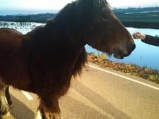 Ontsnapt paard houdt Goudse politie bezig