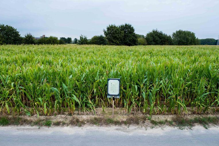 Op deze plek, waar nu nog maïs staat als veevoeder, zou het rundveebedrijf komen. Te groot, volgens Kampenhouts burgemeester Kris Leaerts; waarom niet, vindt Michel Baert van Boortmeerbeek.